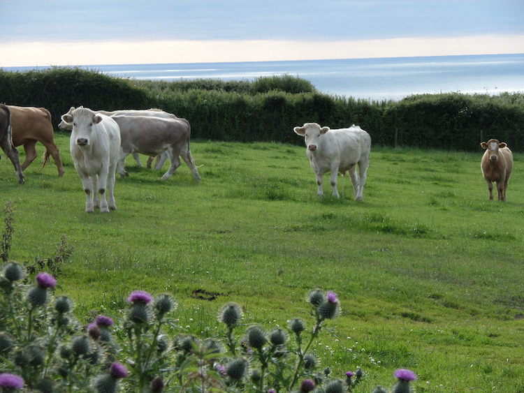 Some of our Cows Grazing on the Clifftop Field