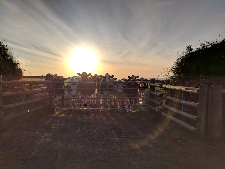 Cows clustered at a gate with the sun setting behind them.