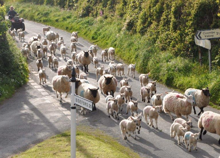 Herding sheep down the road.